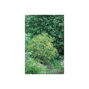 Sambucus Nigra Aureomarginata – Pot de 5L 395866