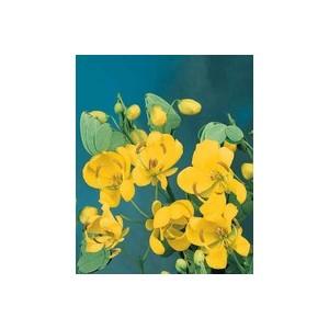 Cassia ou Séné jaune en pot de 3 L 961639