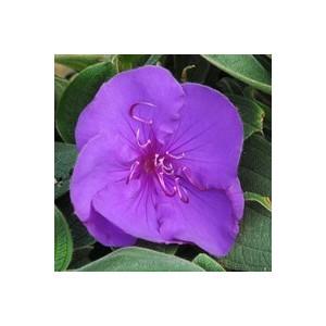 Tibouchina bleue en pot de 9 x 9 cm 48795