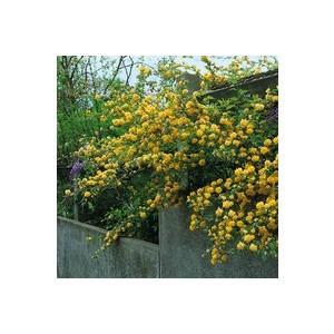 Kerria Japonica Pleniflora – Pot de 24L 383485
