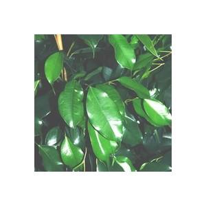 Ficus Benjamina Danielle pyramide  pot Ø20xH110 cm 361859