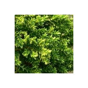 Hebe Green Globe. Le pot de 10.5 cm 963327