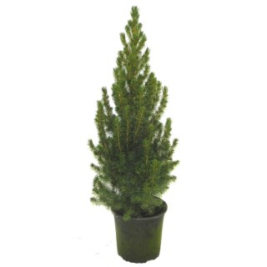 Picea glauca conica vert en pot de 0,5 L 963333