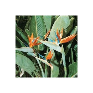 Strelitzia Reginae ou Oiseau du Paradis orange en pot de 12 L 347775