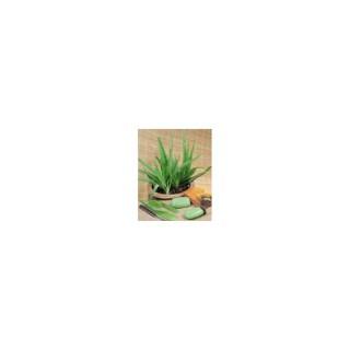 Aloe Vera vert en pot de 2 L 396868