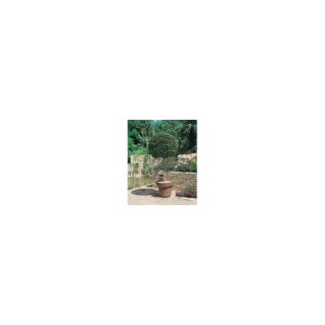 Ligustrum Jonandrum ou Troène mini Tige en pot de 9 L 964041