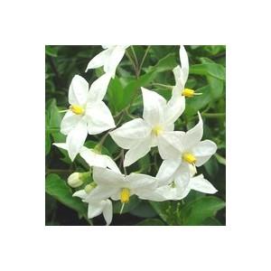 Solanum Jasminoides blanc en pot de 2 L 99063
