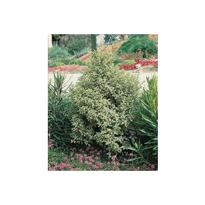 Pittosporum 918870