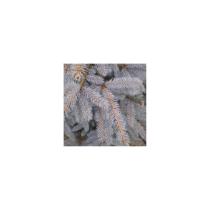 Picea Pungens ou Epicea du Colorado 20/40 cm en pot de 5 L 380924