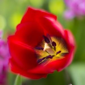 Tulipe multicolore en pot de 1 L Ø 13-15 968168