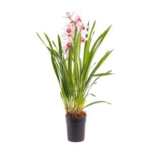 prendre soin de son orchid e conseil plantes et orchid es botanic botanic. Black Bedroom Furniture Sets. Home Design Ideas