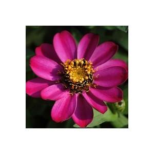 Zinnia multicolore à petites fleurs en pot de 2,5 L Ø 16-21 348261