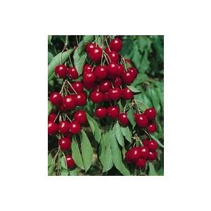 Cerisier Montmorency 1/2 tige 6/8 en conteneur de 12 L 865998