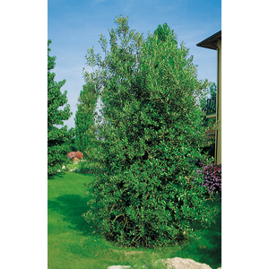 Chêne Vert - pot 18 L 975322