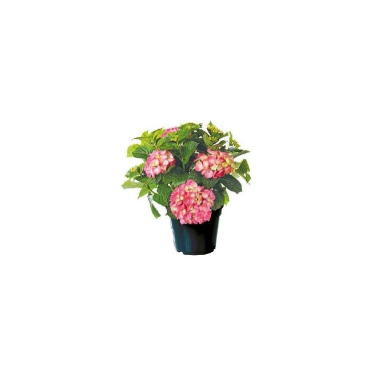 Hortensia à grandes fleurs en pot de 15 litres 909495