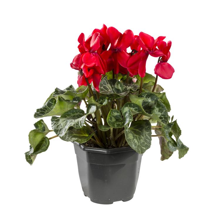 Cyclamen à grandes fleurs. Le pot de 1 litre