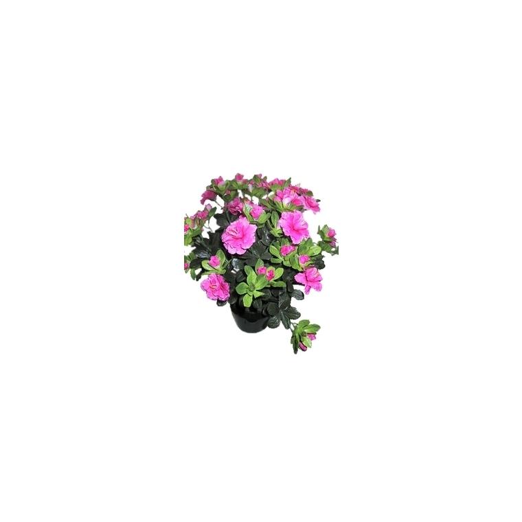 Azalée sachsenstern. Le pot de 15 cm