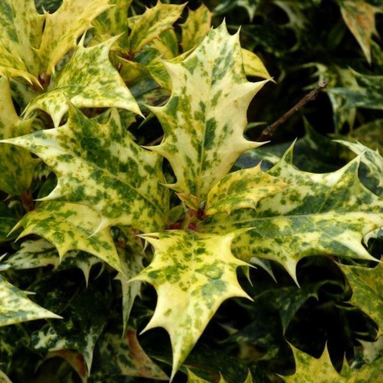 Osmanthus Variegatus 60/80 en pot de 10 L vert 913892