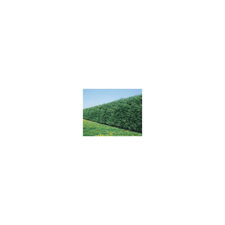 Cupressocyparis Leylandii Cyprès de Leyland 125/150 cm en pot de 4 L 867053