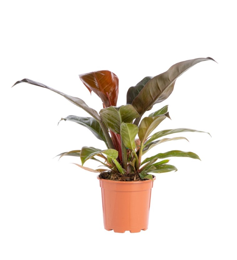 Philodendron Imperial Red pot Ø17xH8 cm 915599