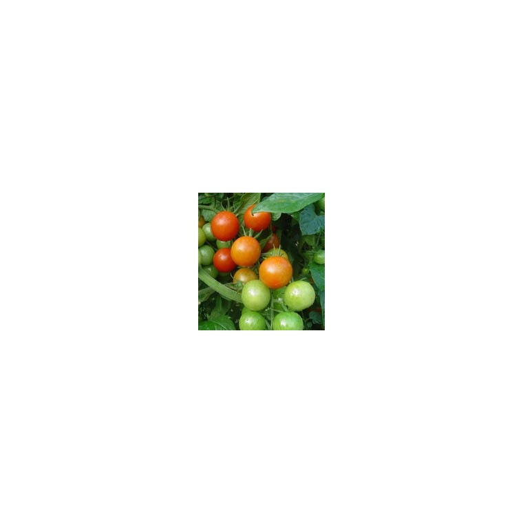 Tomate Cerise ronde Plumbrella. Le pot de 2,5 litres 41533