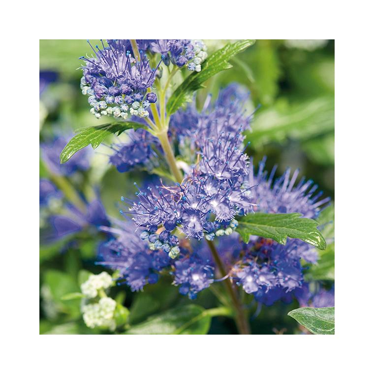 Caryopteris Clandonensis Grand Bleu – Pot de 3L 915941