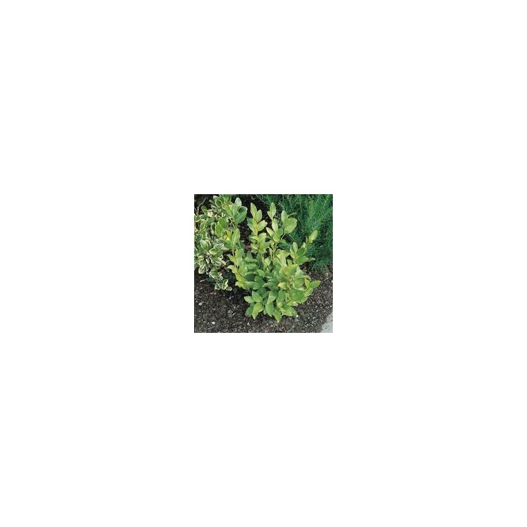Griselina Littoralis vert 80/60 cm en pot de 4 L 467127