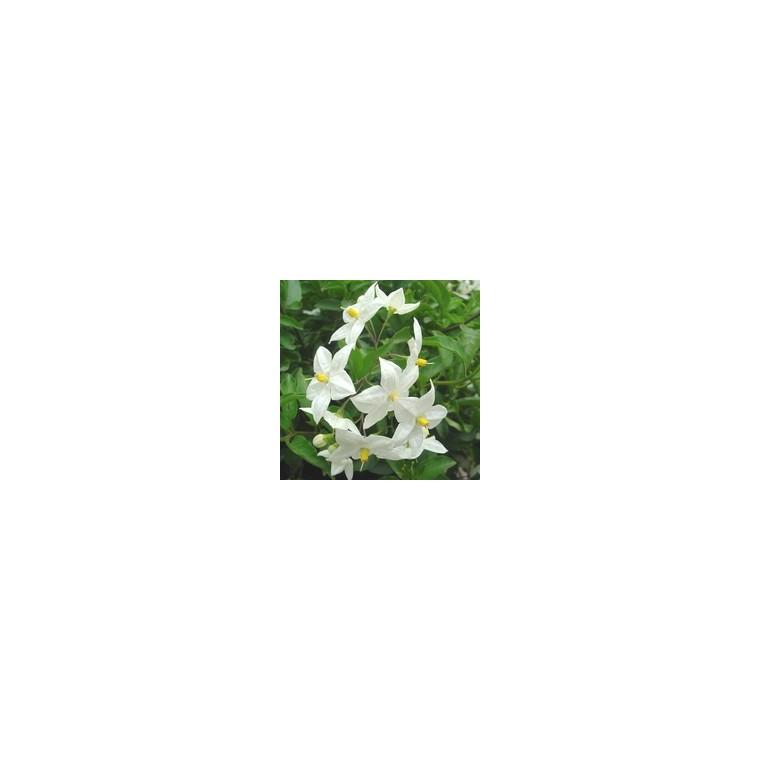 Solanum faux jasmin. Le pot de 9x9 cm 453230