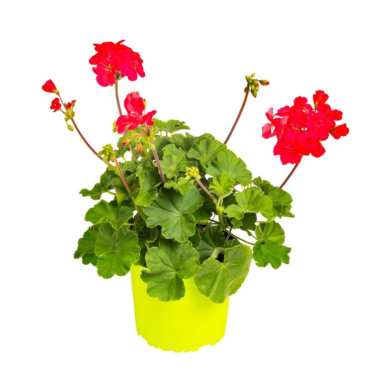 Géranium zonal rouge. Le pack de 6 plants