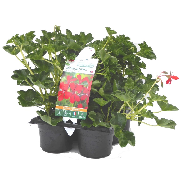 Géranium lierre simple rouge. Le pack de 6 plants 916394