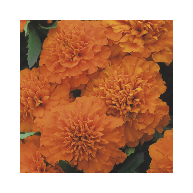 Œillet d'Inde orange. Le pack de 6 plants 916443