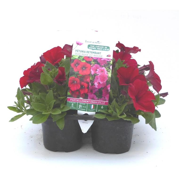 Pétunia retombant rose. Le pack de 6 plants 916446