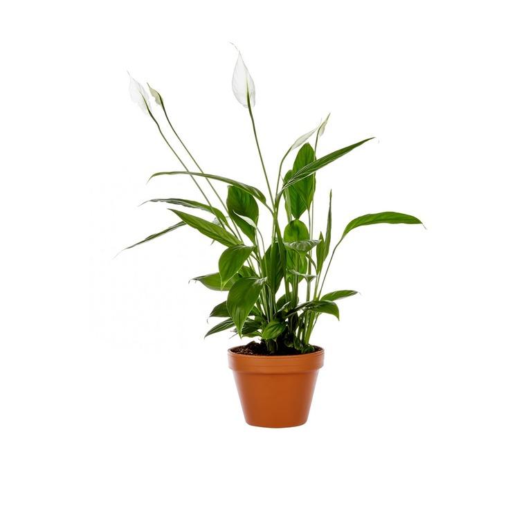 Spathiphyllum plante baby en pot Ø 5,5/6 cm 916602