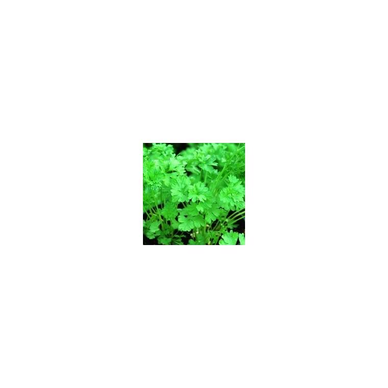 Persil Frisé. La barquette de 6 plants