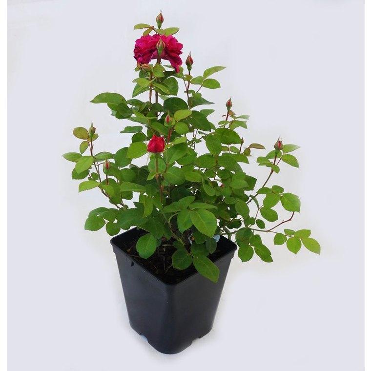 Rosier Ancien Generosa – Pot de 5L 923523