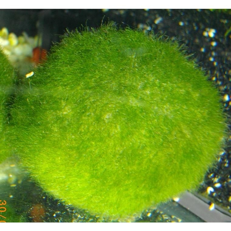 Boule de Cladophora 924185