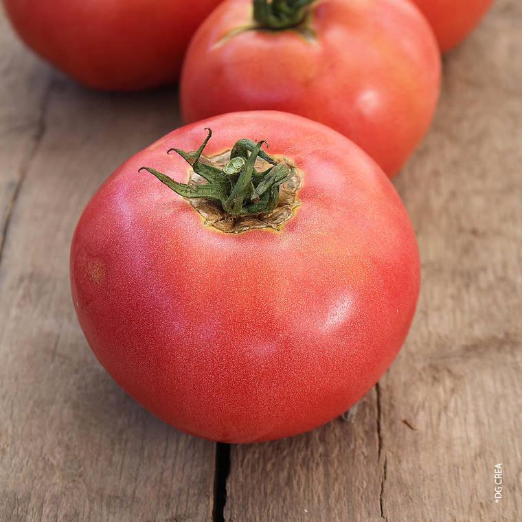 Tomate ronde rose de Berne. Le pot de 10,5 cm 41514