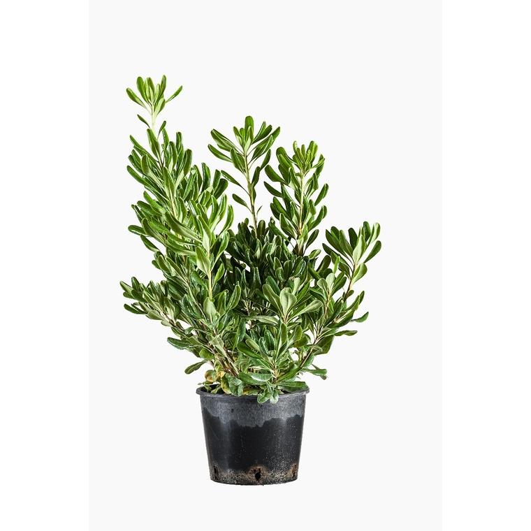 Pittosporum Tobira (Pittospore du Japon) en pot de 3 L vert 924837