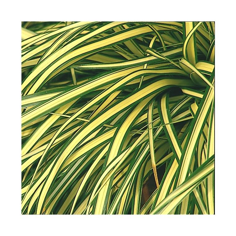 carex evergold. Le pot diam 12 cm 187386