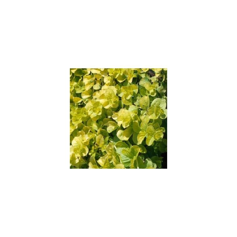 Herbe aux écus. Le pot diam 12 cm 116305