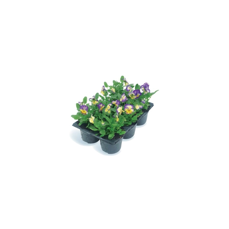 Viola cornuta multicolore en pack de 6 plants