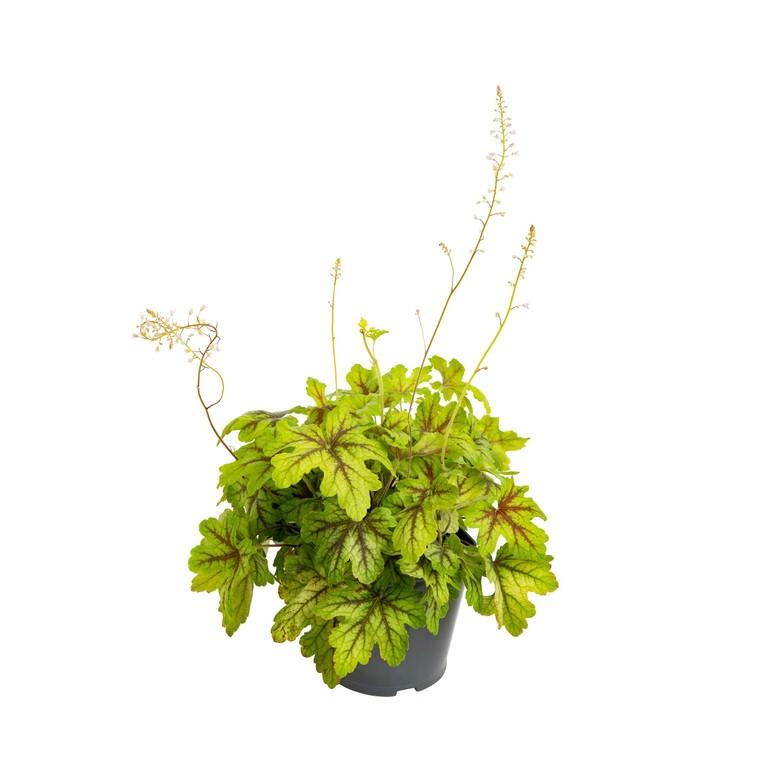 Heuchère. Le pot de 1 litre 928146