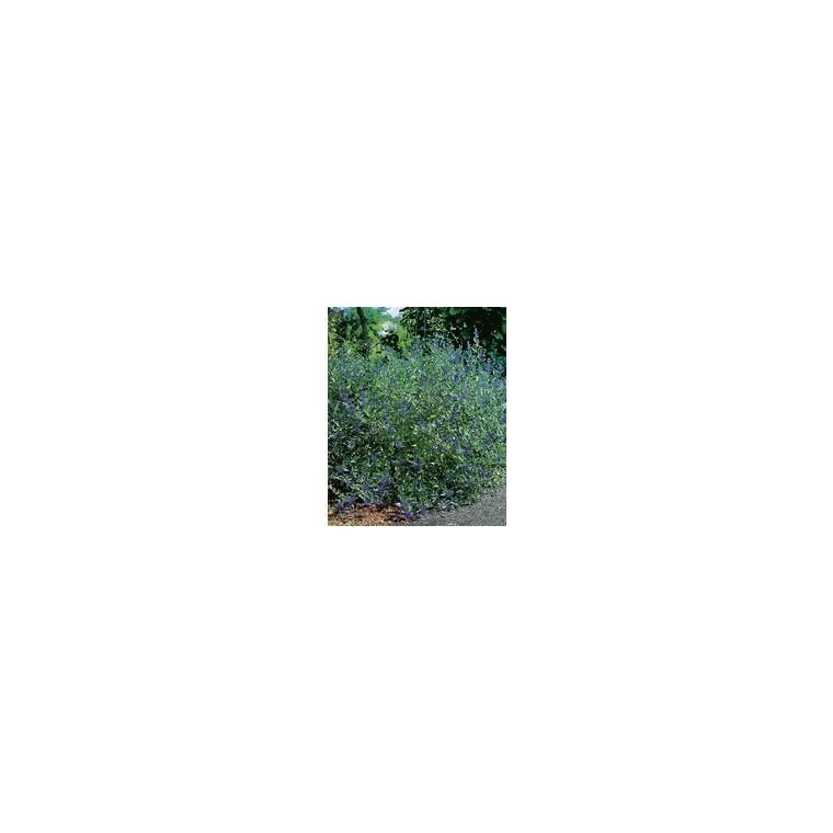 Caryopteris Clandonensis Grand Bleu – Pot de 5L