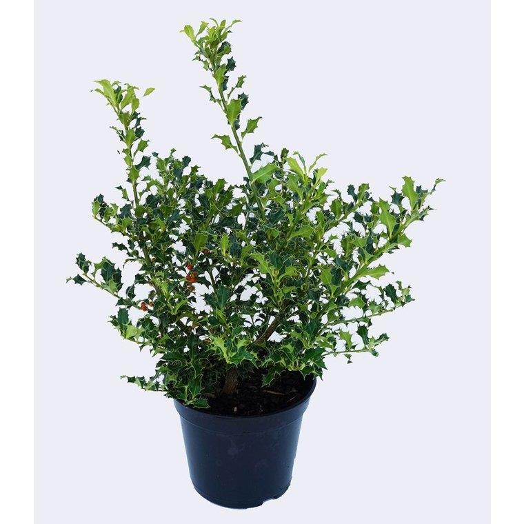 Houx Aquifolium Alaska - pot 5 L 928201