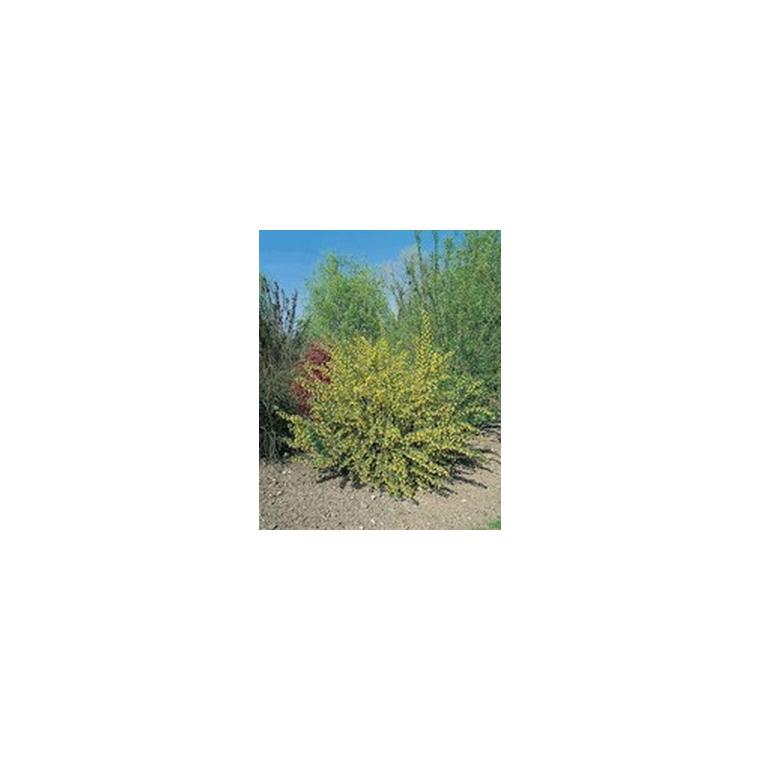 Ribes Odoratum – Pot de 5L 863838