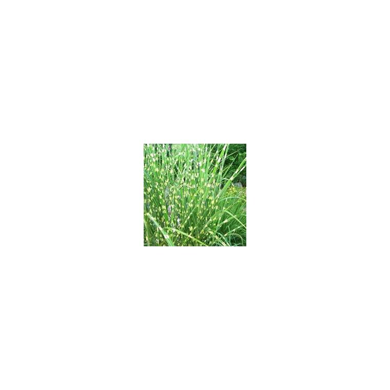 Miscanthus Sinensis Zebrinus. Le pot de 3 litres 958273