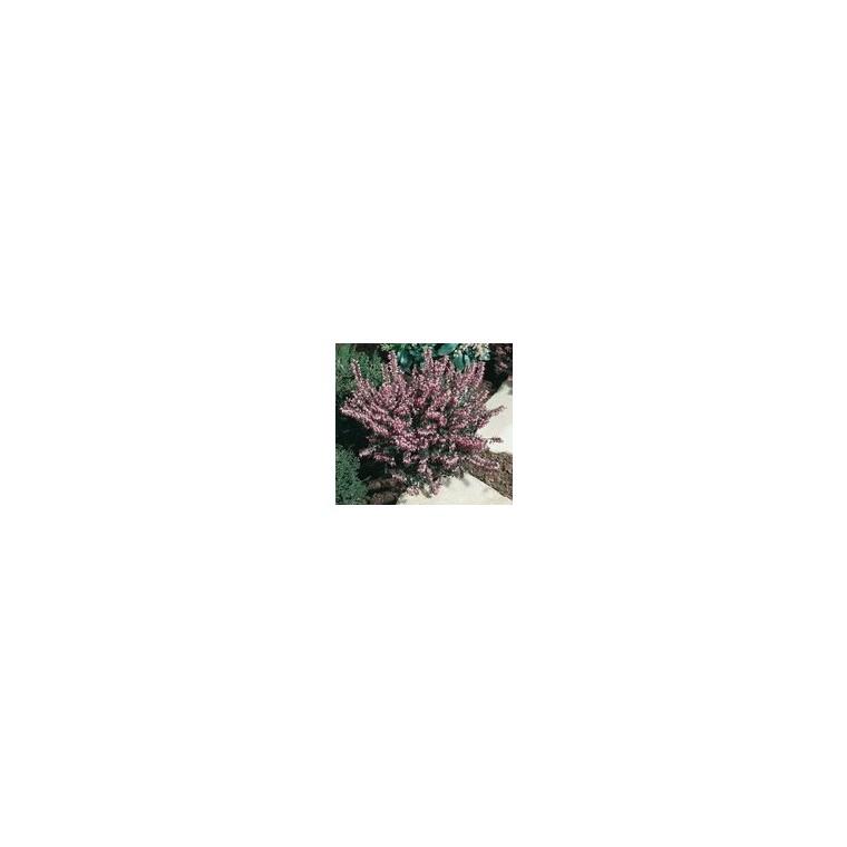 Bruyère Erica variée. Le pot de 10 litres 461865