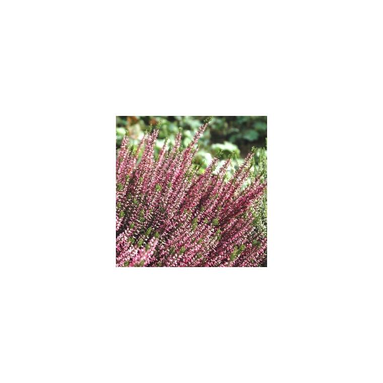 Callune naturelle. La jardinière de 40 cm
