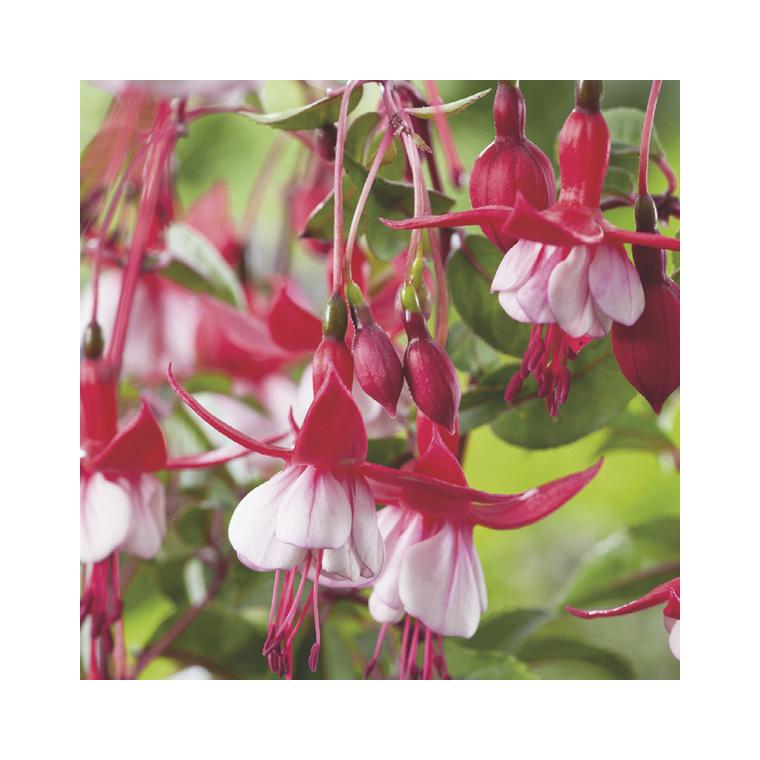 Fuchsia rouge. Le pack de 6 plants