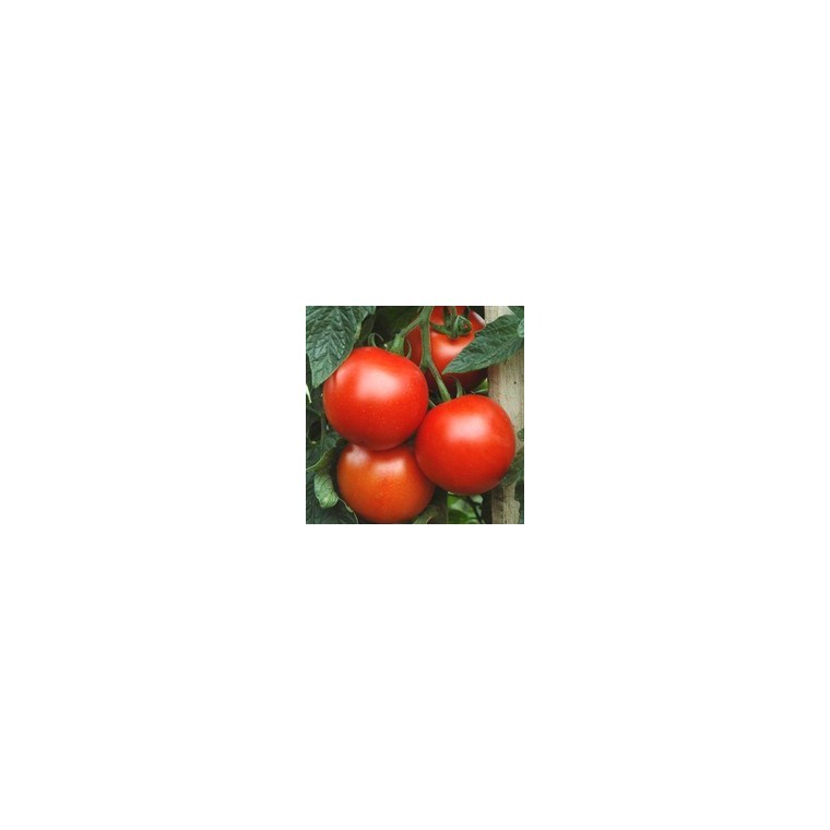 Tomate ronte en grappe Greffée. Le pot de 1 litre